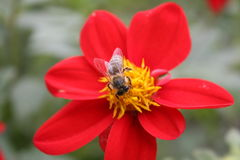 Bee on a red flower Royalty Free Stock Images