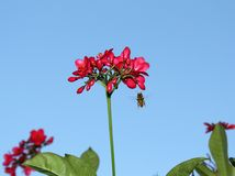 Bee by red flower. A bee flying by a red flower on a blue sky background stock photos