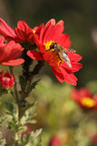 Bee on a red flower. Close up, blurred green  background Royalty Free Stock Image