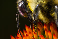 Bee on red flower collecting pollen extreme macro Royalty Free Stock Images