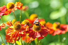 Bee on a red flower Royalty Free Stock Photos