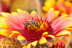 Bee on the red flower full coverd in pollen Royalty Free Stock Photo