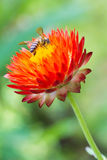 Bee on red flower Royalty Free Stock Image