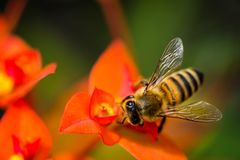 Bee and red flower macro closeup stock image