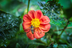 Bee on red flower. Top view. Stock Photography
