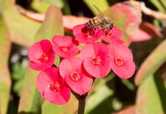 Bee on red flowers Royalty Free Stock Images