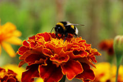 Bee on the red flowers Stock Photography