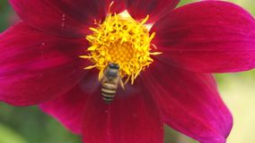 Bee On red flowers stock video footage