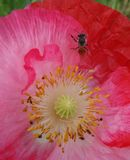 Bee in red Opium flowers on green leaves royalty free stock images