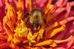 Bee on the red orange flower gathering pollen Royalty Free Stock Photography