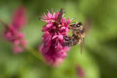 Bee on red or pink flower of persicaria Stock Image