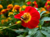 Bee on the red yelow flower. Bee feeding on the red flower in the fall garden Royalty Free Stock Image