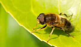 A bee is resting. On a leaf Royalty Free Stock Images