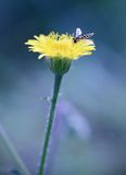 Bee resting on beauty dandelion at night Royalty Free Stock Image