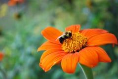 Bee resting on Orange flower. A bee in a garden, resting on a bright orange flower Stock Photography