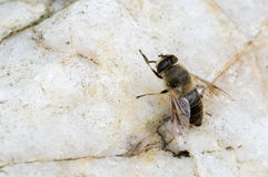 Bee resting on a stone Stock Photography