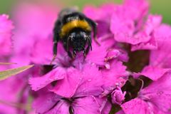 A bee rests on a pink flower. A bee takes a well earned rest on the pink petals of a flower in spring stock photo