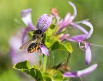 Bee and Ribbon bush Stock Photography