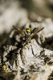 Bee on the rocks Royalty Free Stock Image
