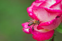 Bee on rose Stock Photos