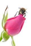 Bee and rose Royalty Free Stock Images