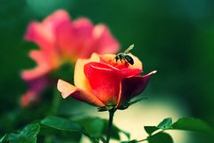 Bee on rose bud. Bee on rose bud in garden with soft retro filter Stock Image