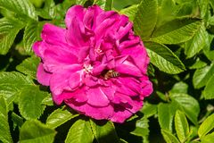 Bee in Rose. A bee collects nectur for a bright pink rose Stock Images