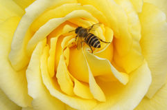 Bee on rose flower. Bee on yellow rose flower Royalty Free Stock Images