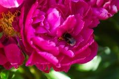 Bee on rose stock photos