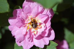 Bee on rose Stock Photo
