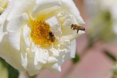 Bee on a rose. Bee near the pistil rose. Collect pollen from garden roses. Bee on white rose. Bee near the pistil rose. Collect pollen from garden roses royalty free stock photos