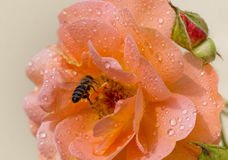 Bee in a rose after rain Royalty Free Stock Images