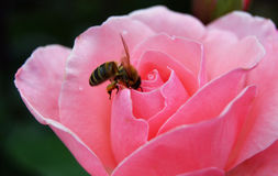 Bee on Rose Royalty Free Stock Photos