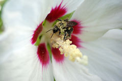 Bee. On a rose of sharon royalty free stock photos