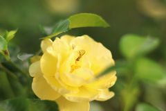 Bee on a rose. Yellow rose closeup on green background. stock images