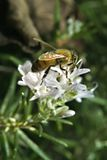 Bee on Rosemary flower. Clos-up of a Bee on Rosemary flower Royalty Free Stock Image