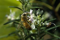 Bee on Rosemary flower Royalty Free Stock Photos