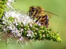 Bee on Rosemary Flower Royalty Free Stock Photo