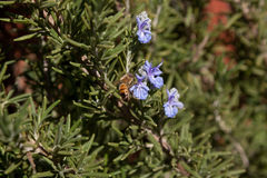 Bee on rosemary flower Stock Photography