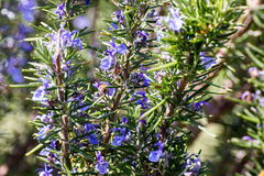 Bee on Rosemary in flower royalty free stock photography