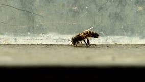 Bee rub the abdomen stock footage