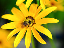 Bumblebee on rudbeckia Stock Photography