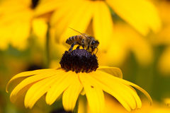 Bee on Rudibeckia Flower Stock Images