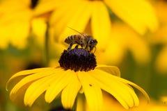 Bee on Rudibeckia Flower Stock Images