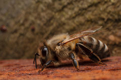 Bee on rusted iron plate Royalty Free Stock Photo
