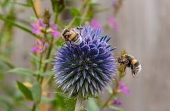 Bee`s on distel. Bij op een distel, bij komt aanvliegen op een distel Stock Image