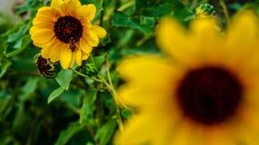 Bee s Fütterungszeit Stockfotografie