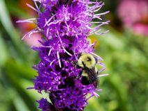 A Bee and It`s Flower. Whether you call it by its botanical name, Liatris or one of the more popular common names Blazing Star or Gayfeather, you`ll love this stock photos