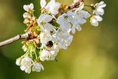 Bee in Sakura cherry tree white flowers bloom in spring Stock Photo