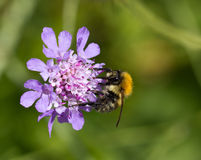 Bee on Scabious Flower Royalty Free Stock Photos